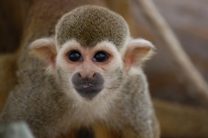 Spider Monkey with tongue out